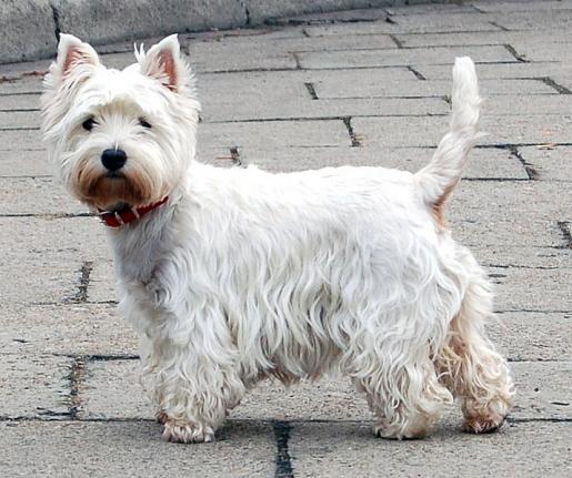 West Highland White Terrier.jpg