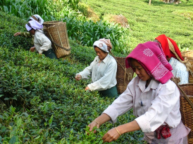 Picking tea leaves at the estate