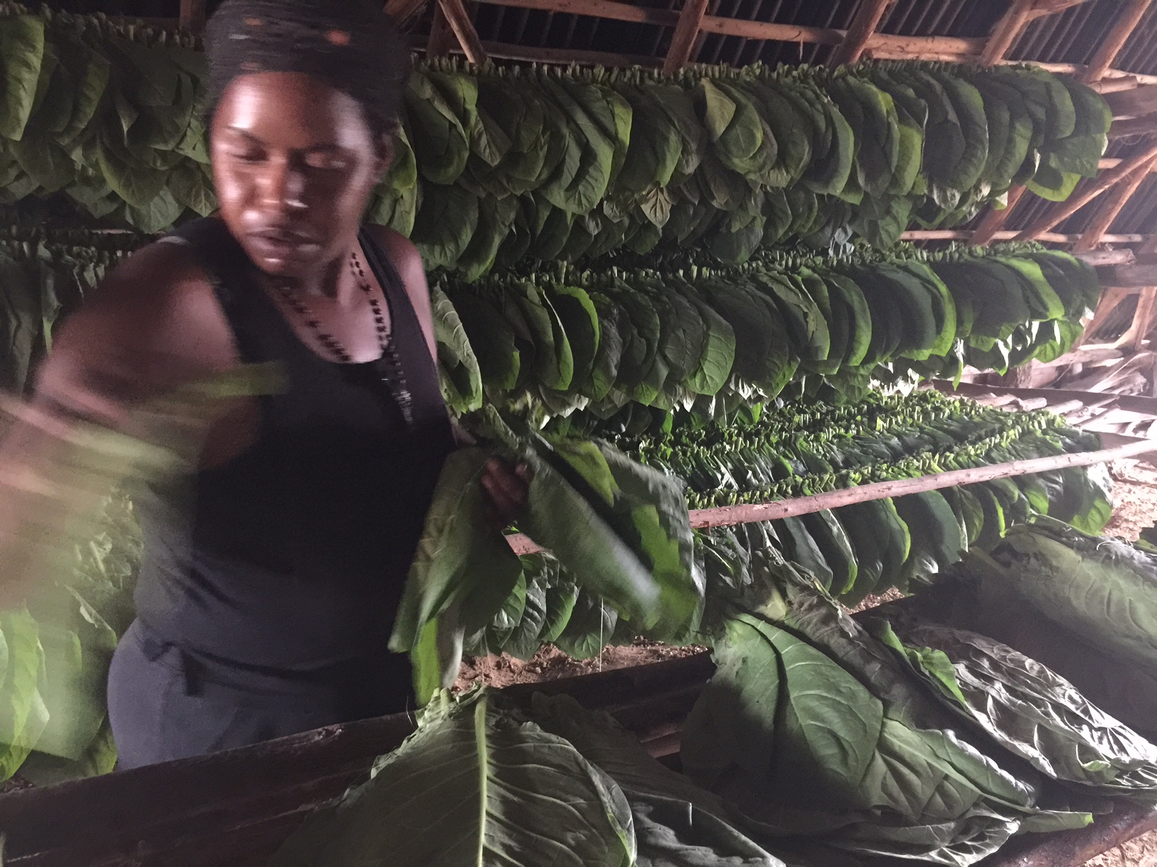 Inspecting, sorting tobacco leaves in a well ventilated barn.