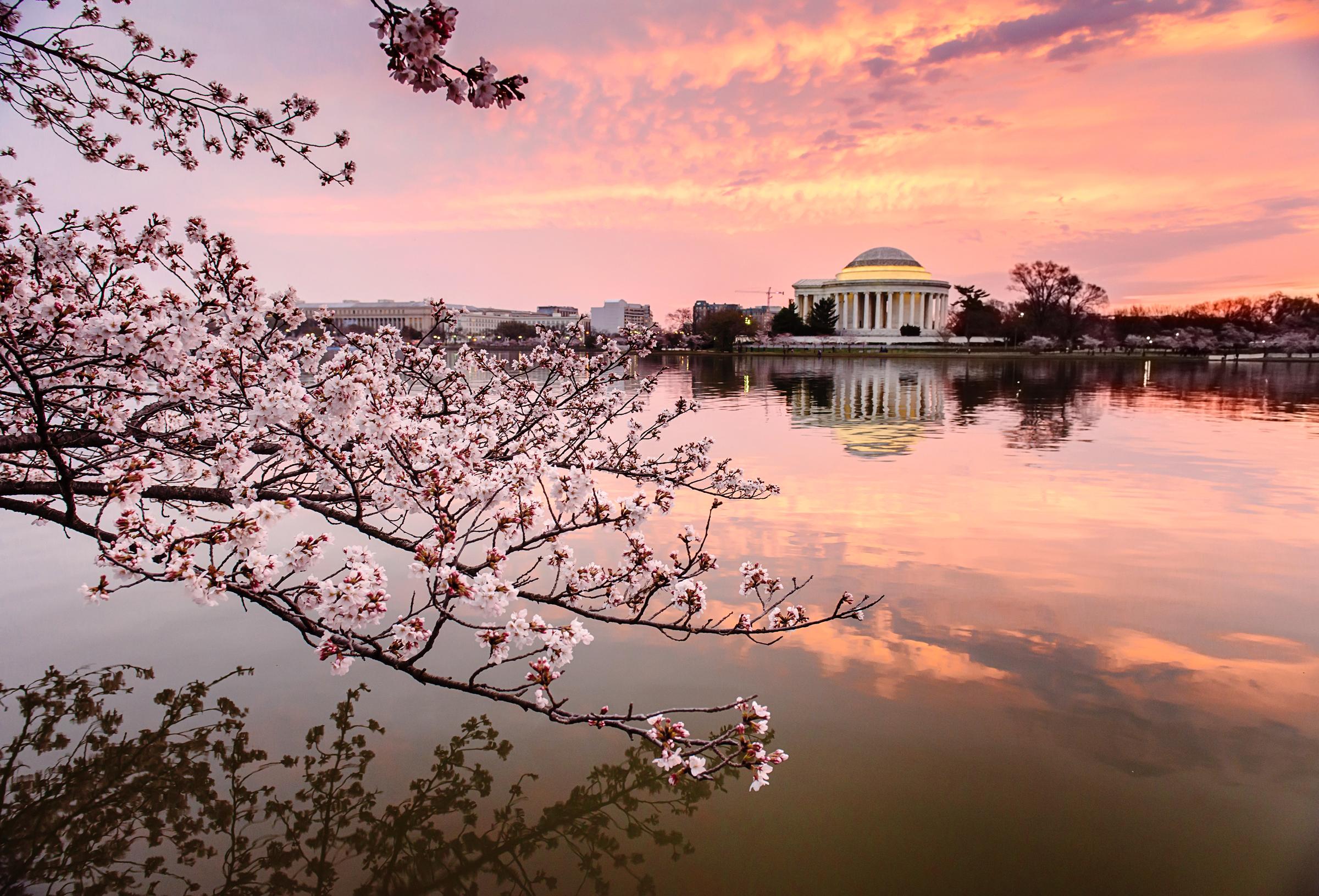 Cherry Blossoms-1fb.jpg