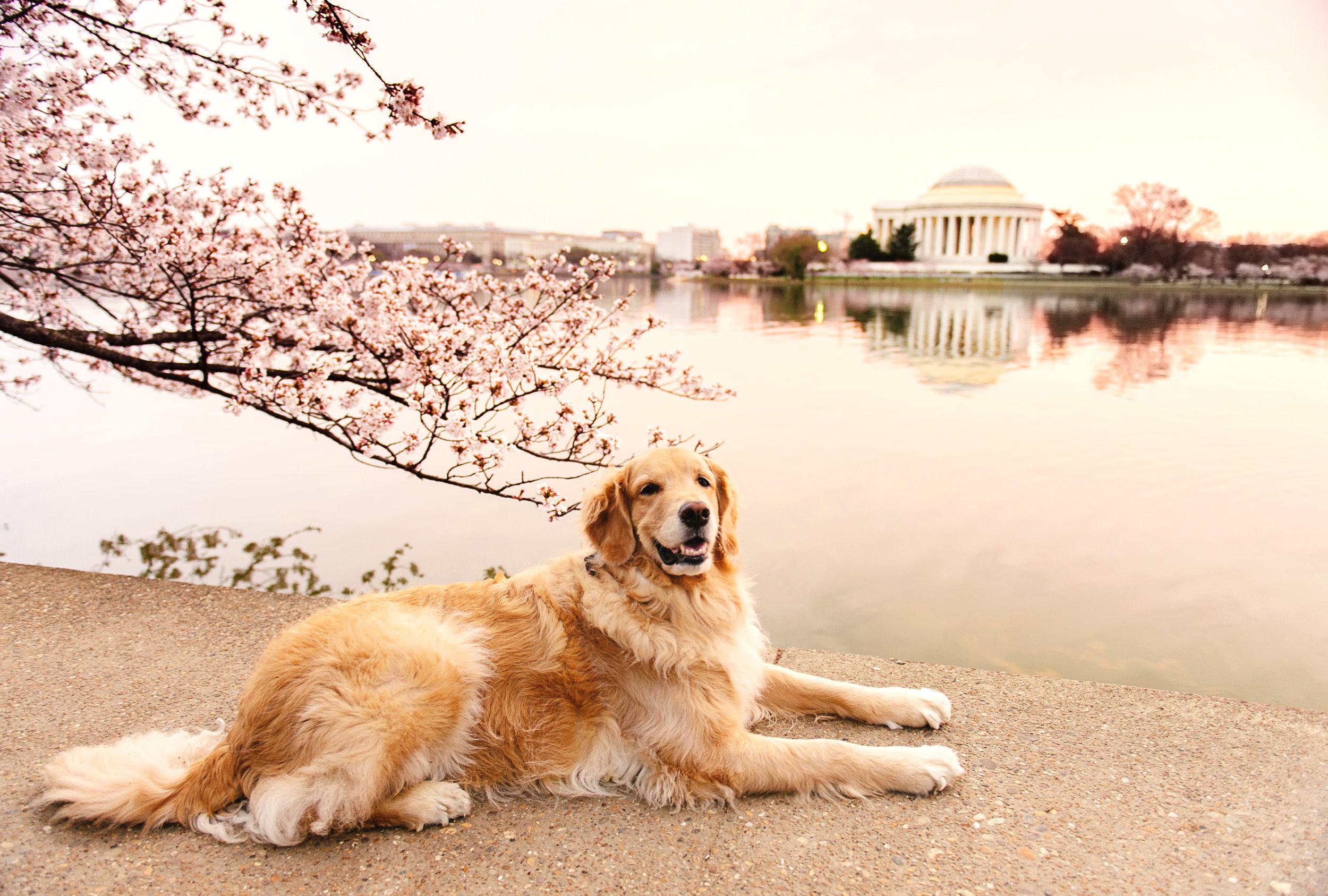 Cherry Blossoms-1-2fb.jpg