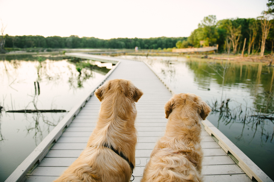 Aspen and Koa look at the not pet friendly boardwalk at Huntley Meadows