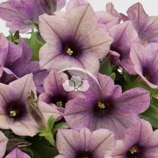 Petunia Famous™