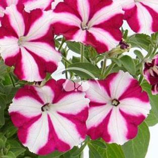 Petunia Starlet™