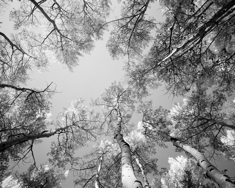 Aspens II, 2012 (Ilford FP4 with red 25)