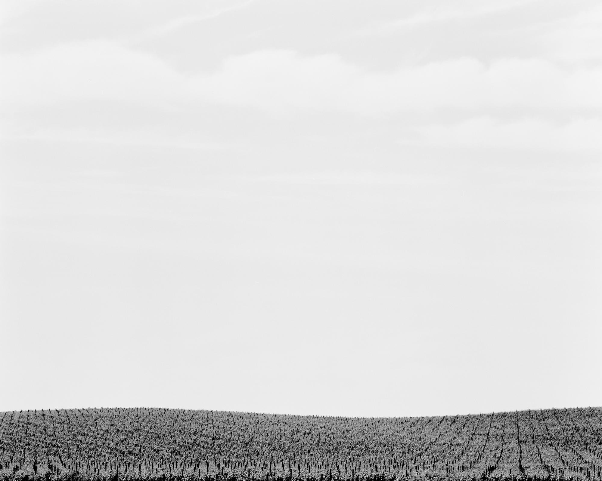 Vineyard no. 3