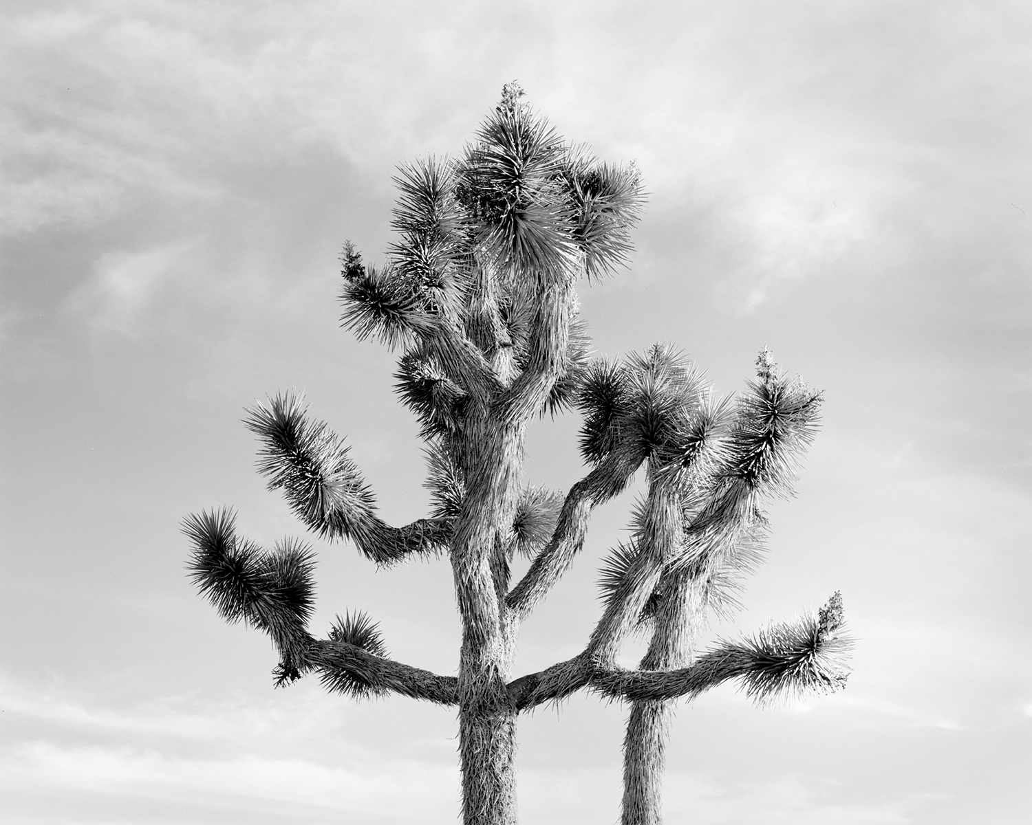 JOSHUA TREE IV