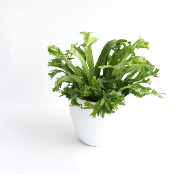 plantbuttonfern.jpg