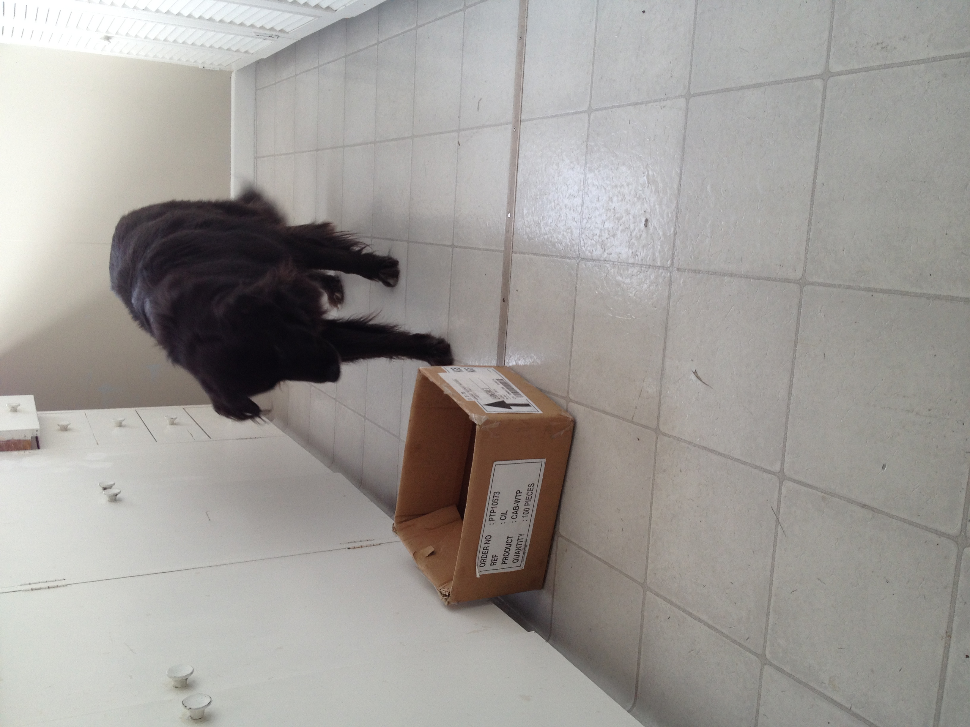 Here is Frankie during a search practice happy to walk on the slippery kitchen vinyl.