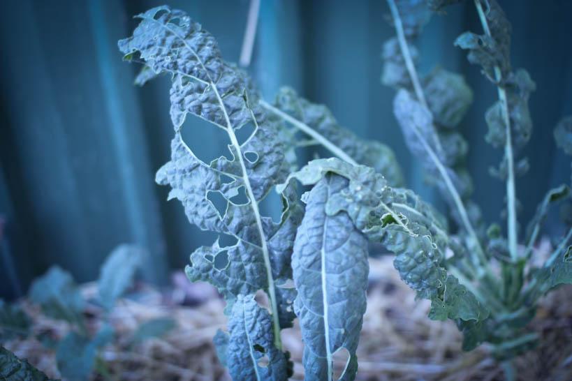 Tuscan Kale || thinkbiglivesimply.com