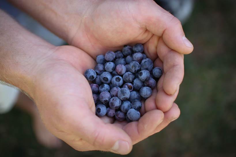 Blueberries || thinkbiglivesimply.com