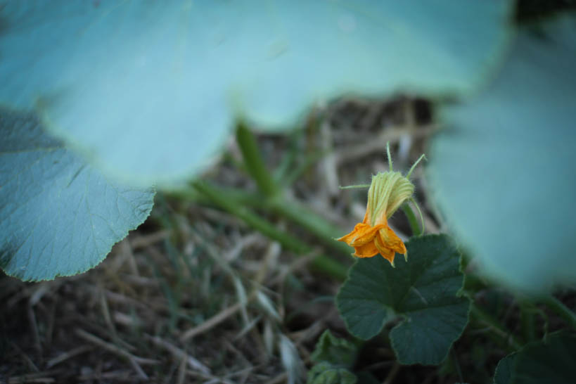Pumpkin Flower || thinkbiglivesimply.com