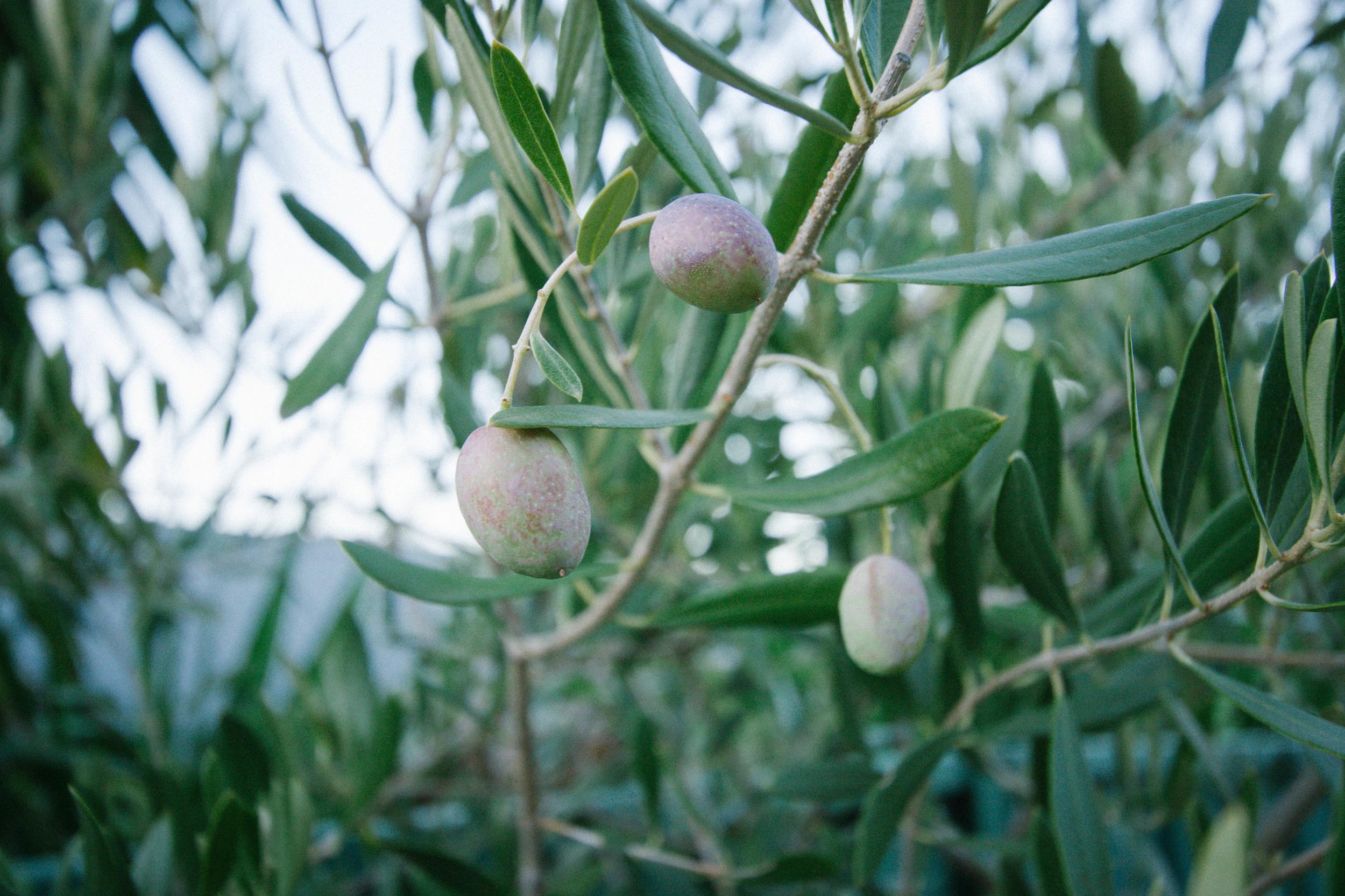 Olives || rebeccashann.com