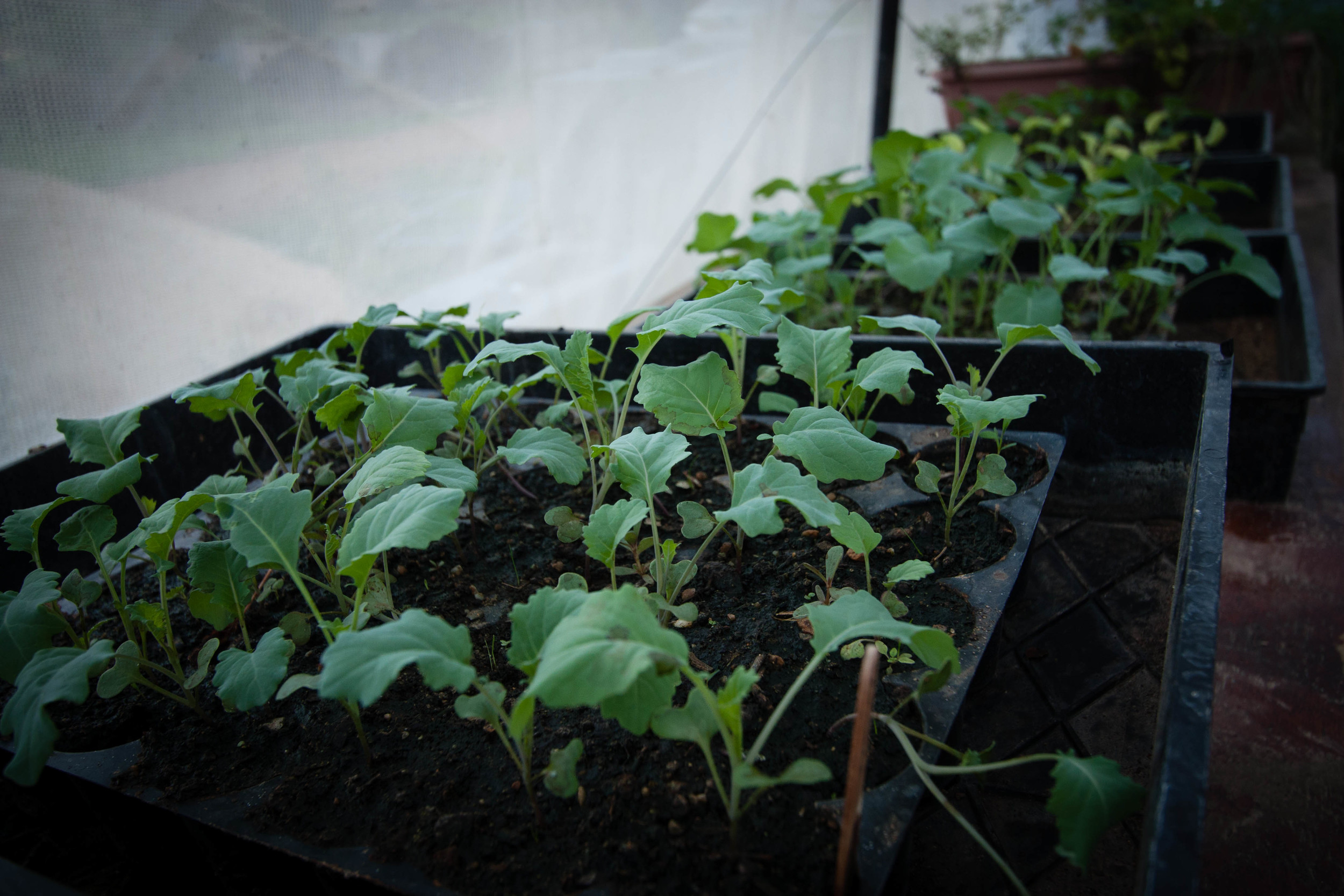 Broccolli Seedlings || rebeccashann.com