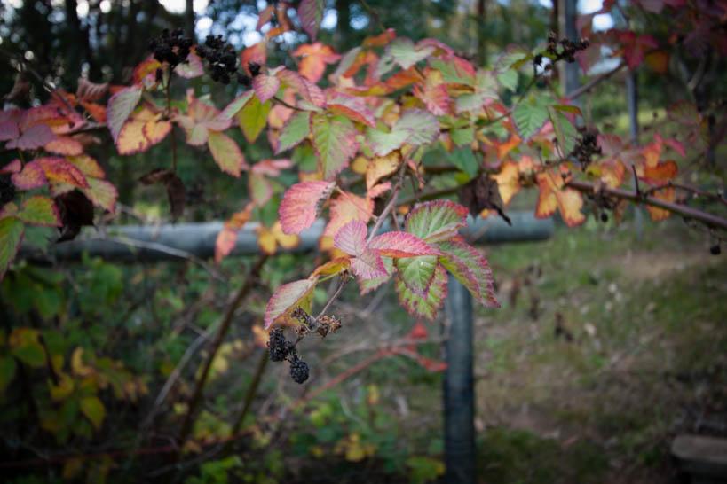 Autumn Blackberry || thinkbiglivesimply.com