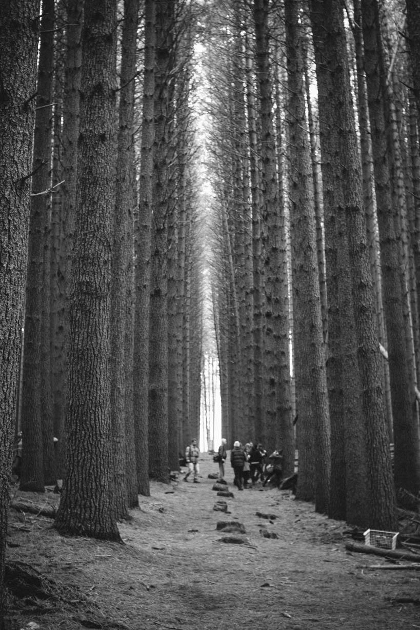 Sugar Pines Walk || thinkbiglivesimply.com