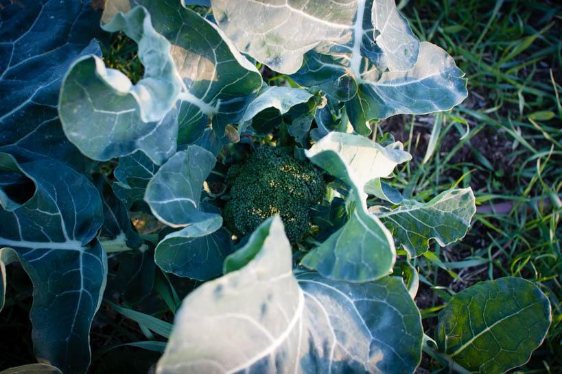 Broccoli || thinkbiglivesimply.com