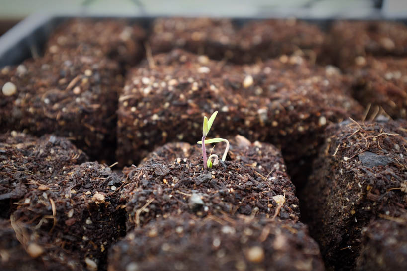 Tomato Seedling || thinkbiglivesimply.com
