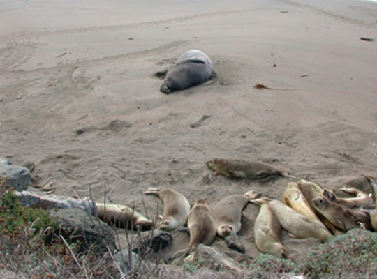 Elephant seals. Photo: Sarah Etttman-Sterner