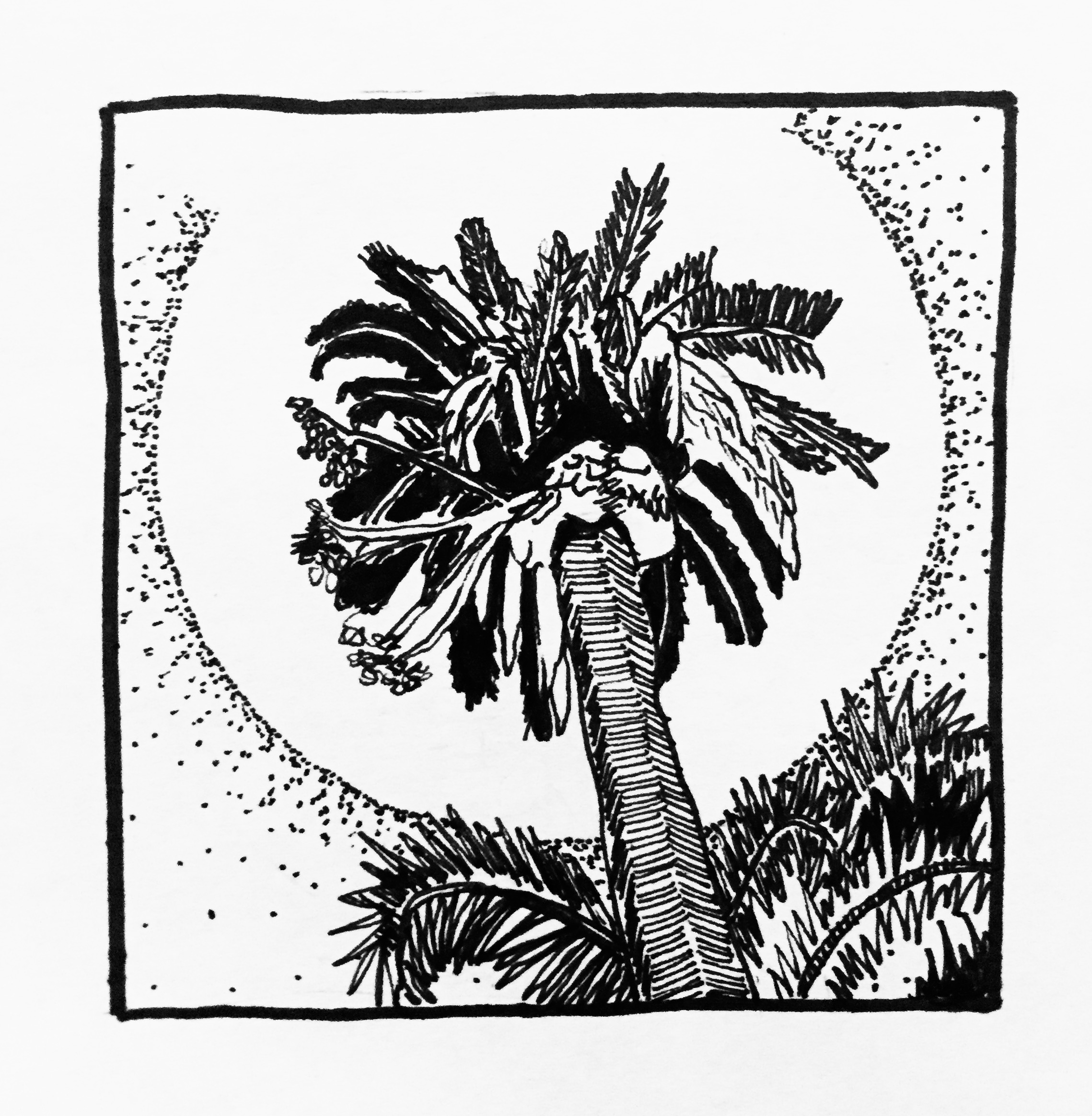 Plants in California: Date Palm