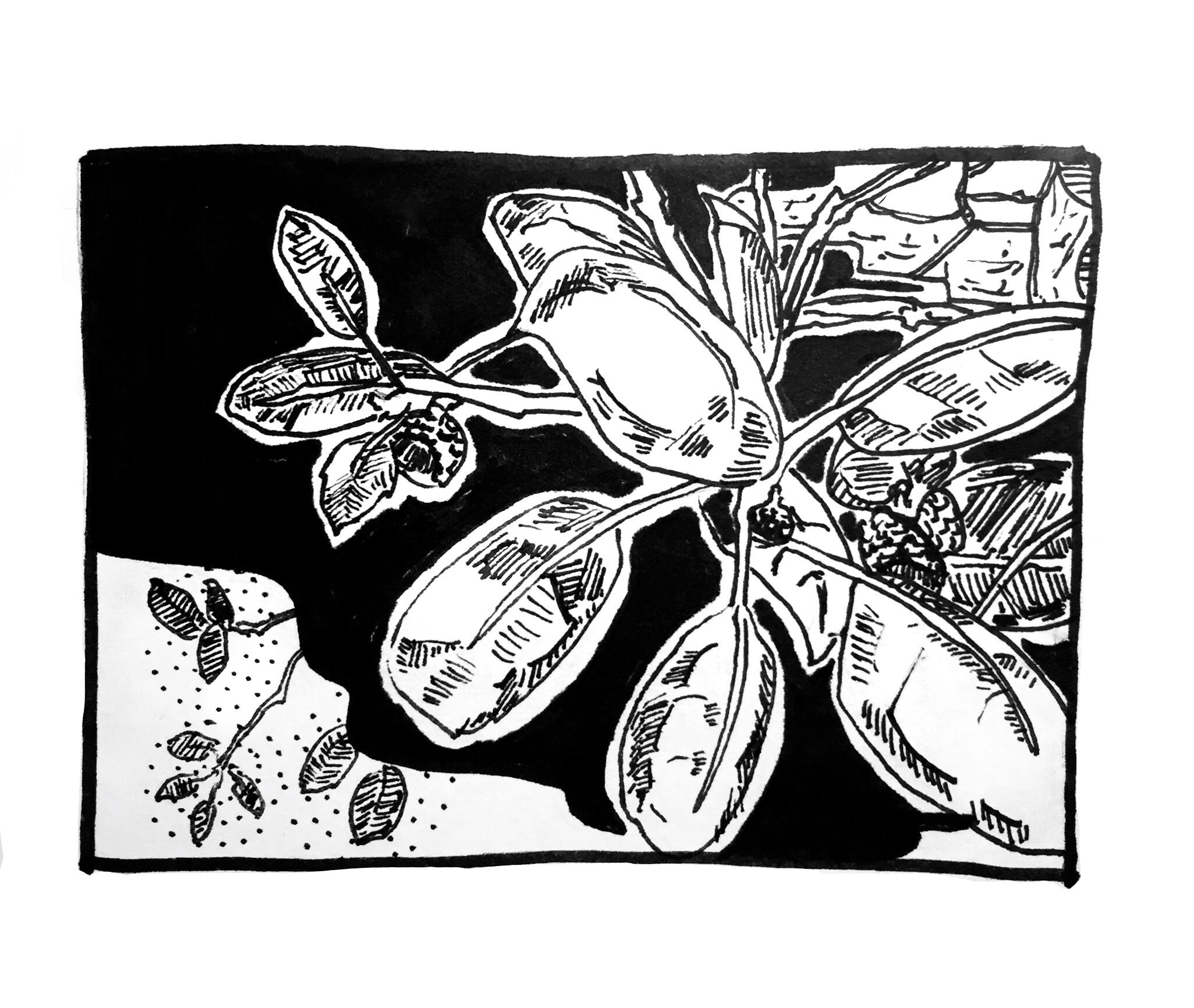 Plants in California: California Oak