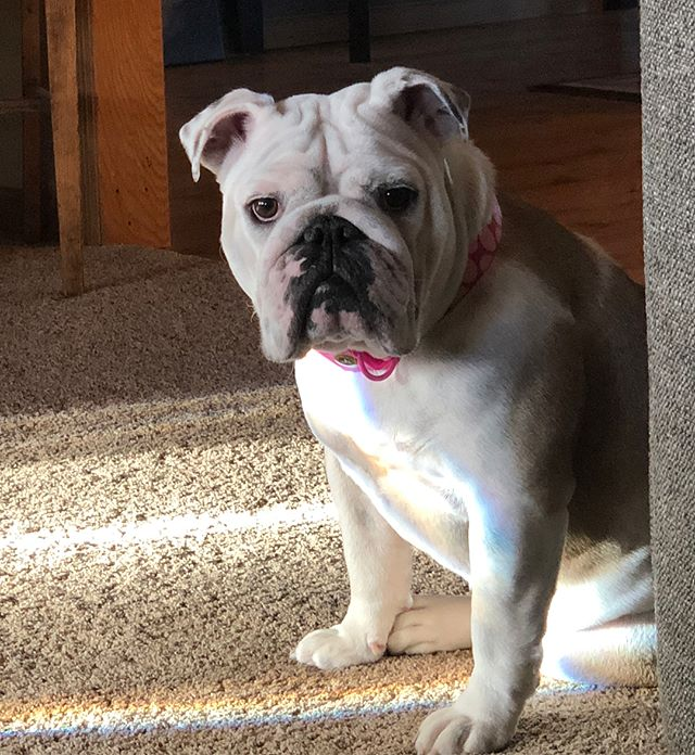 Since it's national puppy day I'll post a few of this weirdo that won't leave the house 😂 aka the queen of the house Zoe. #nationalpuppyday #queenZ #englishbulldog