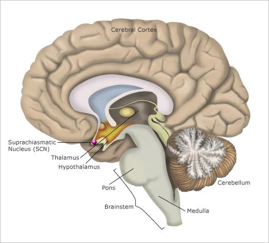 brain-scn.jpg