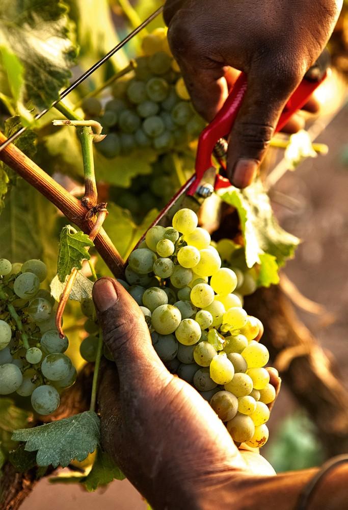 harvest_time_delaire_graff-683x1000.jpg