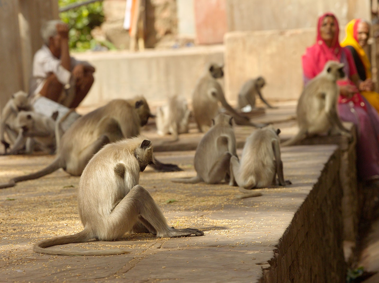 Langur-Monkeys-at-temple.jpg