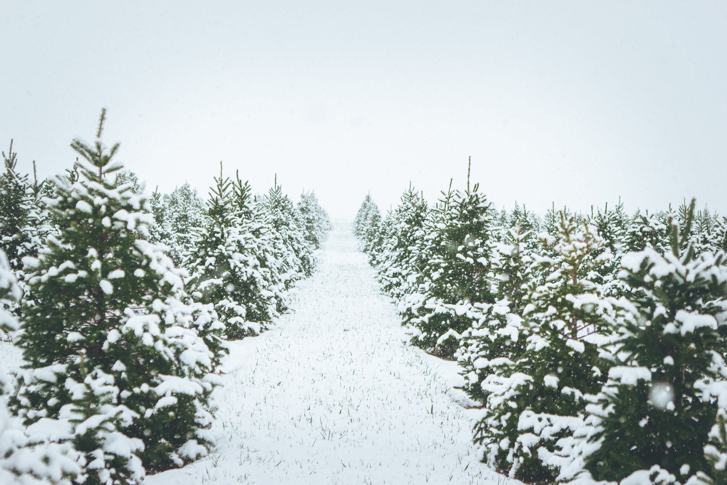 Rows and rows of hand-trimmed trees at bomke's patch! :)