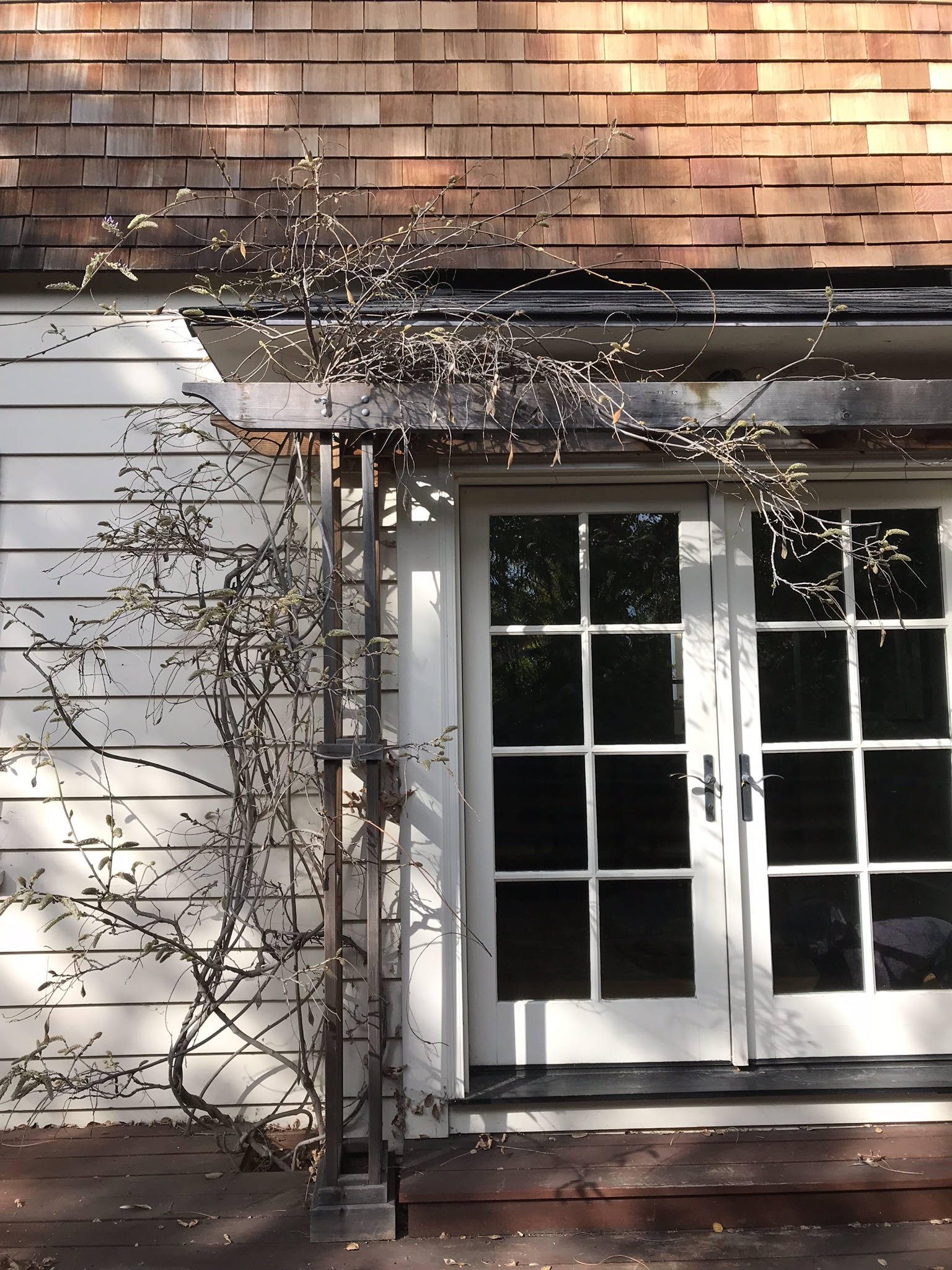 Wisteria BEFORE pruning