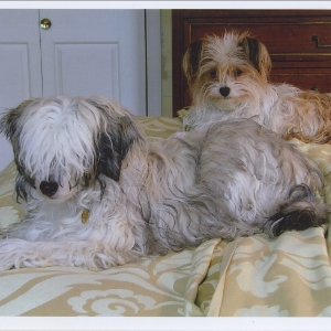 Chinese Crested Powder Puffs - Isabel & Sophie