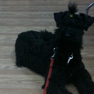 Kerry Blue Terrier - Harry