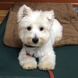 West Highland Terrier - Lucy