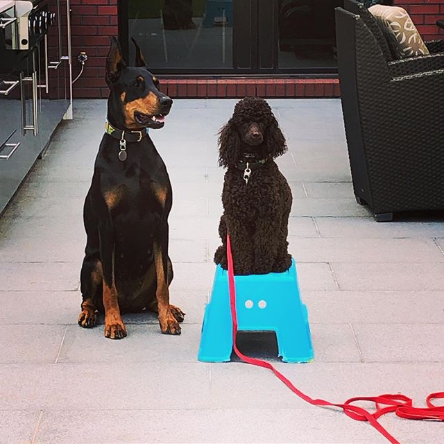 Posing Poodle Auggie with posing Doberman sister Cleo #dcdiplodogs