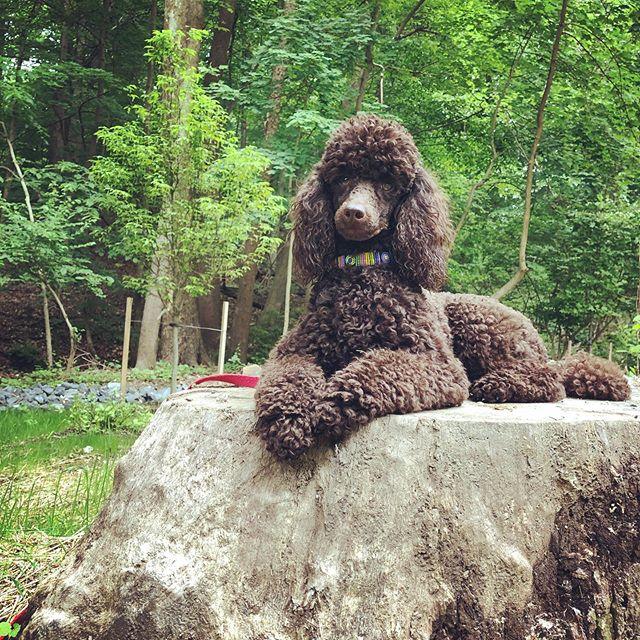 Posing Poodle (miniature) Auggie #dcdiplodogs