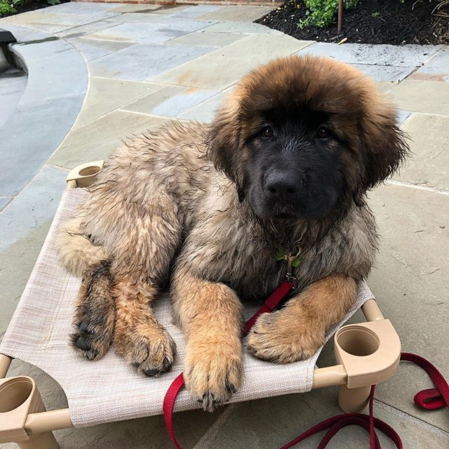 10 week old Liesel the Leonberger on the already too small place cot!#dcdiplodogs