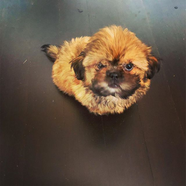 Morty the Shih-Tzu was not convinced about the training his parents signed him up for! #dcdiplodogs