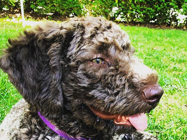 I tried, but Dolce the Lagotto Romagnalo would not share her eyelash curling secrets with me! #dcdiplodogs
