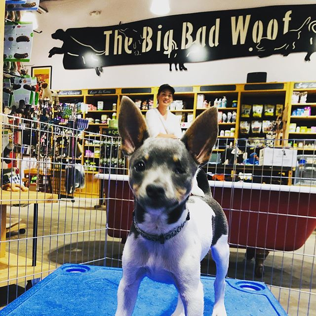 Beat the heat at Puppy PlayTime tonight from 7-8 pm at The Big Bad Woof in Takoma DC. You just might meet Punky the Rat Terrier! #dcdiplodogs #woofdelivers