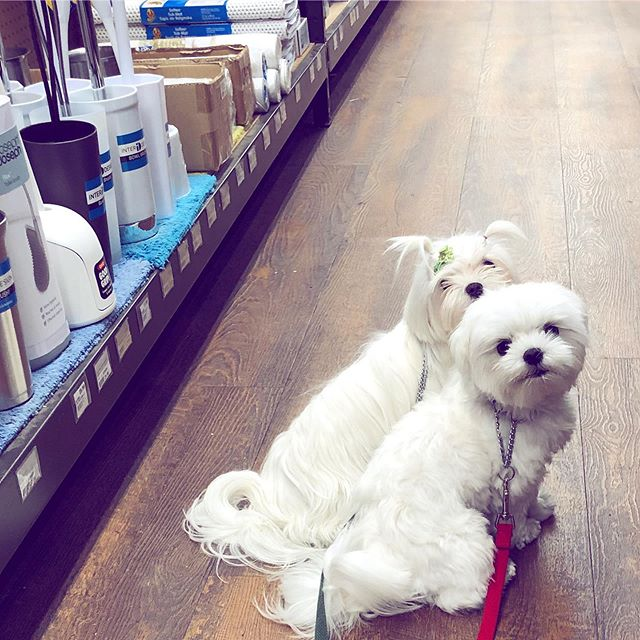 Princess Valentina and her brother Valentino slumming it at the local hardware store! #dcdiplodogs