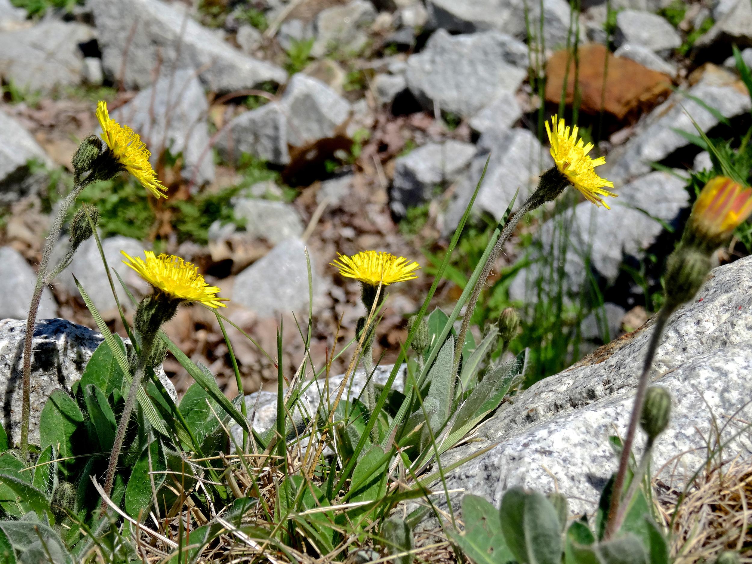 dandelion-trek-scully.jpg