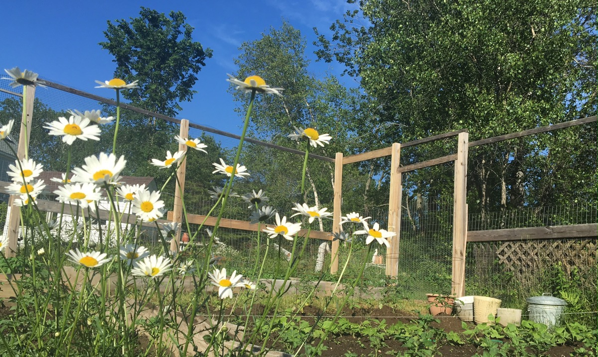 garden-daisies.jpg