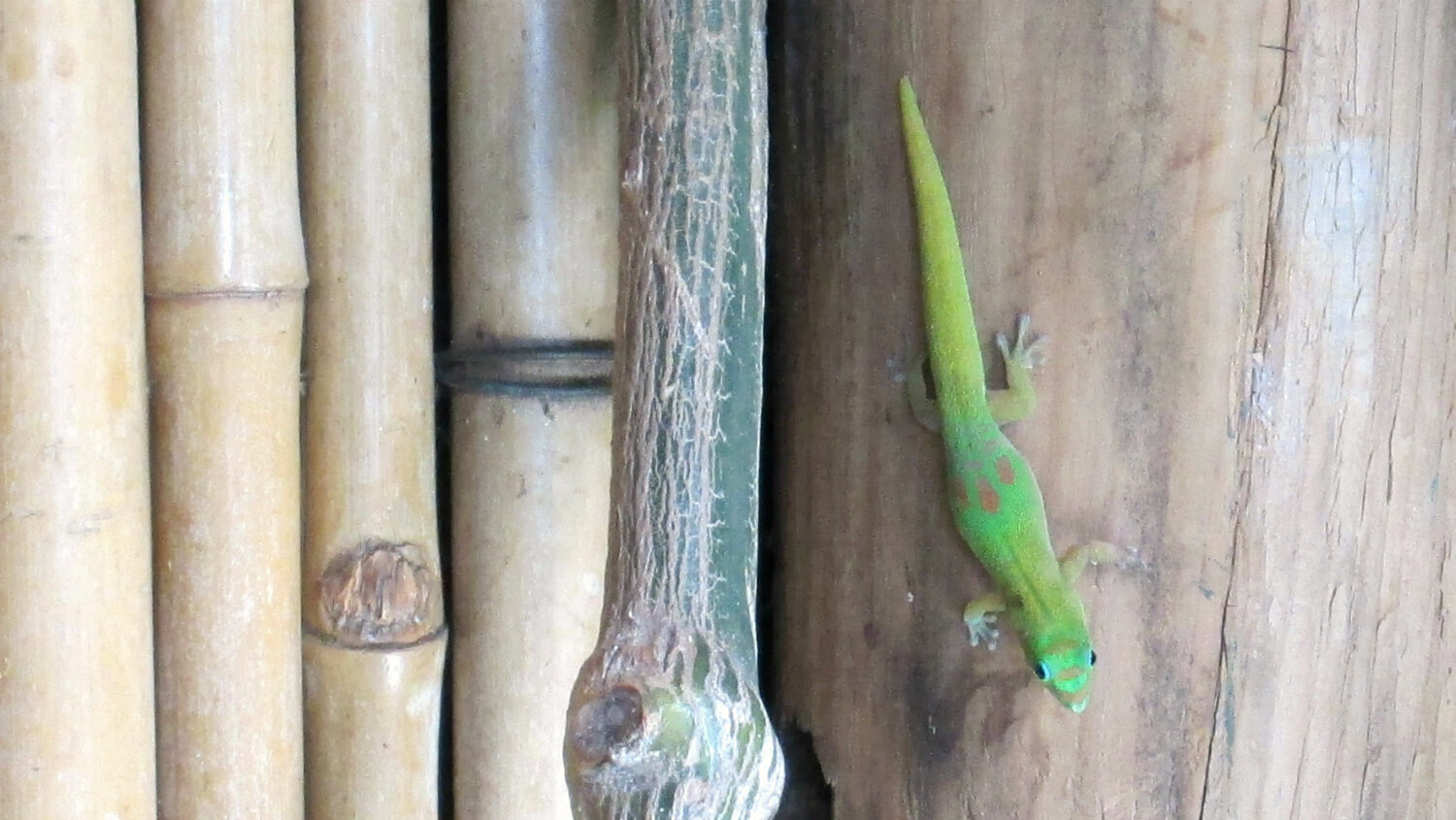 Gold Dust Day Gecko in the wild (well, on a bar wall...) in Kihei, Maui. They are not a native species, but have thrived in some areas of the state.