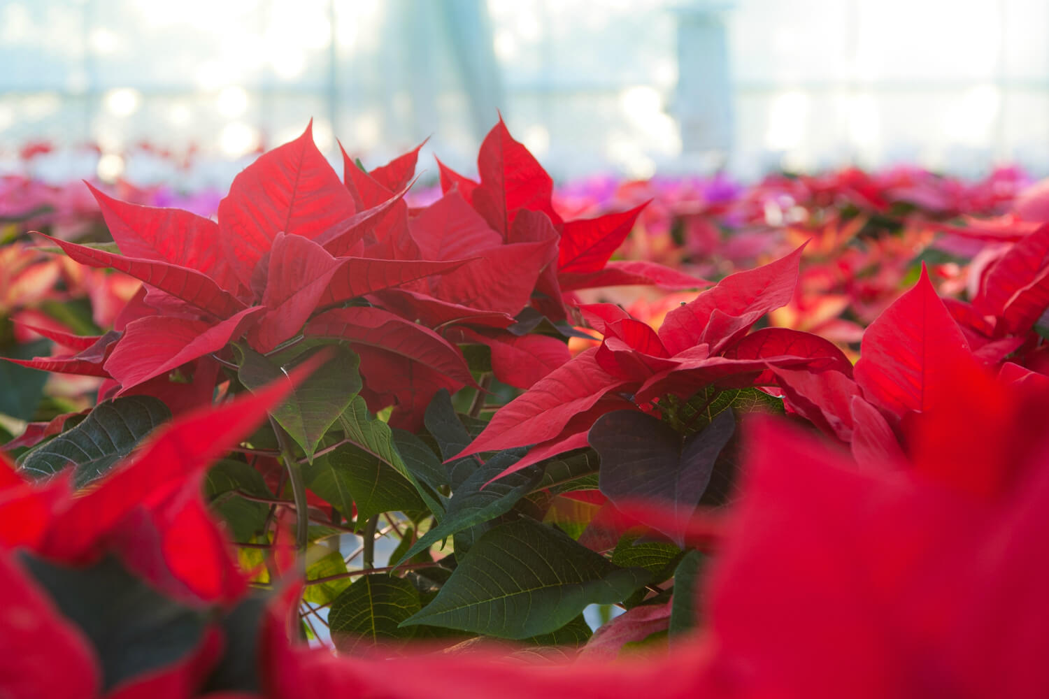 Photo Credit: Christmas Poinsettia, Staplehurst, by H Matthew Howarth; Creative Commons License