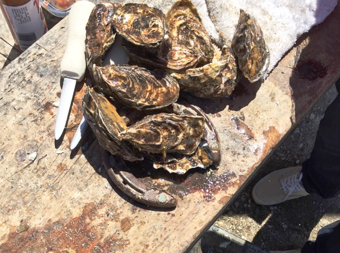 Fresh oysters and shucking knife on a picnic table
