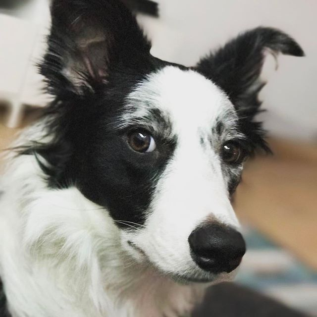 Quorra knows you're up to something. #bordercollie