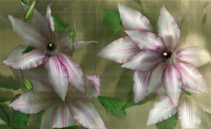 Clematis small.jpg