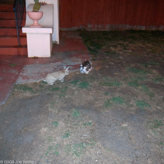Rabbits on the lawn at midnight -- by Joe Reifer