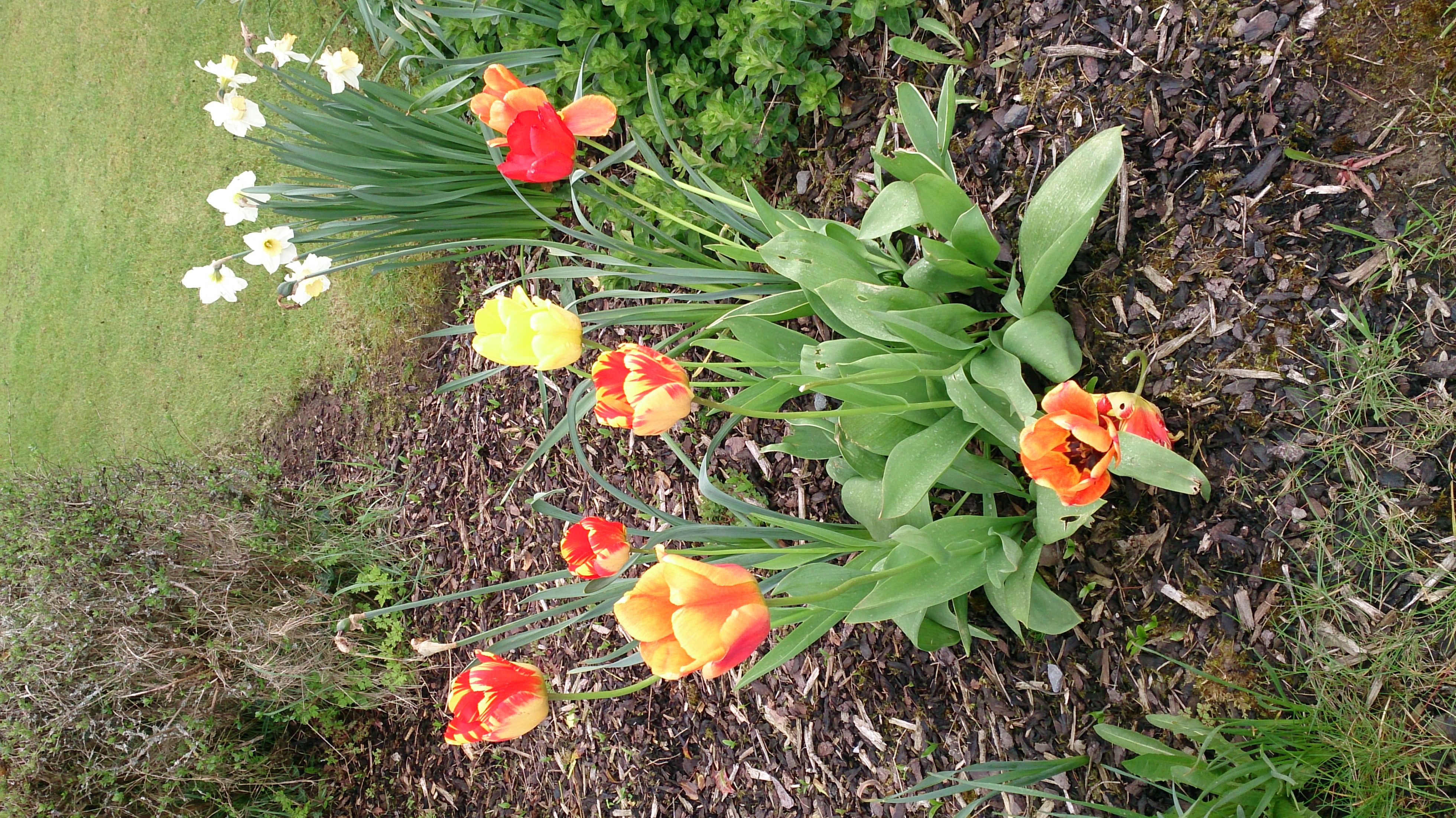 Reminds me of home in Haarlem! Tulips!
